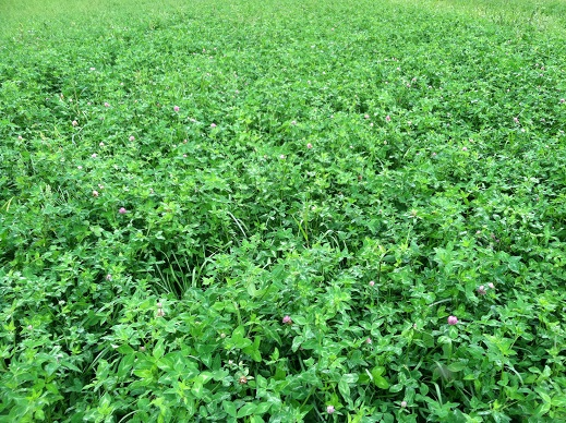 Gallant Red Clover